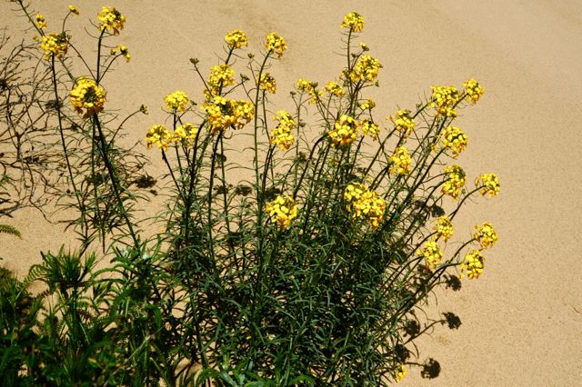 Coreopsis Hill Dune Wallflower JE