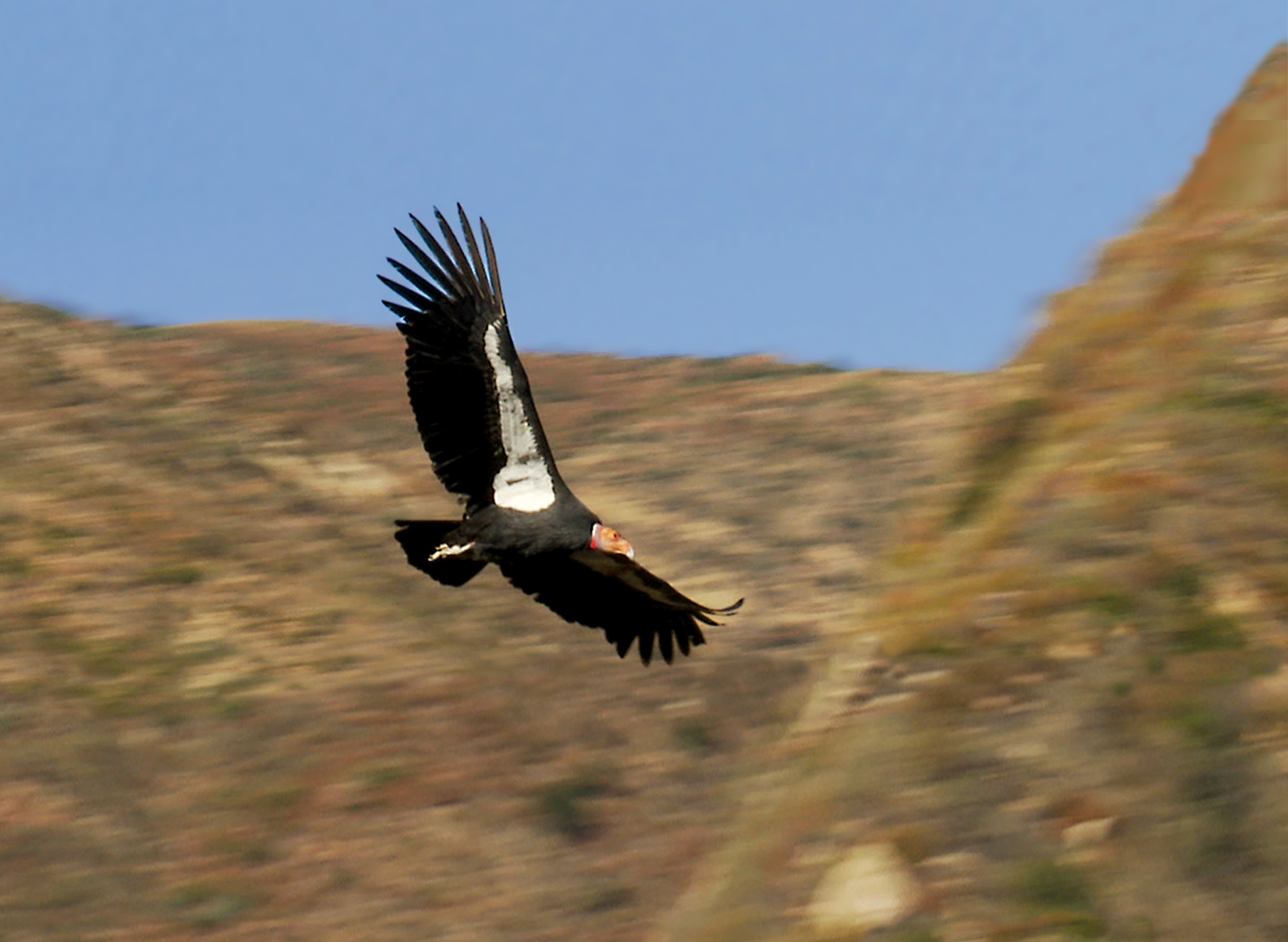Condor Soaring Condors Shadow Documentary 2