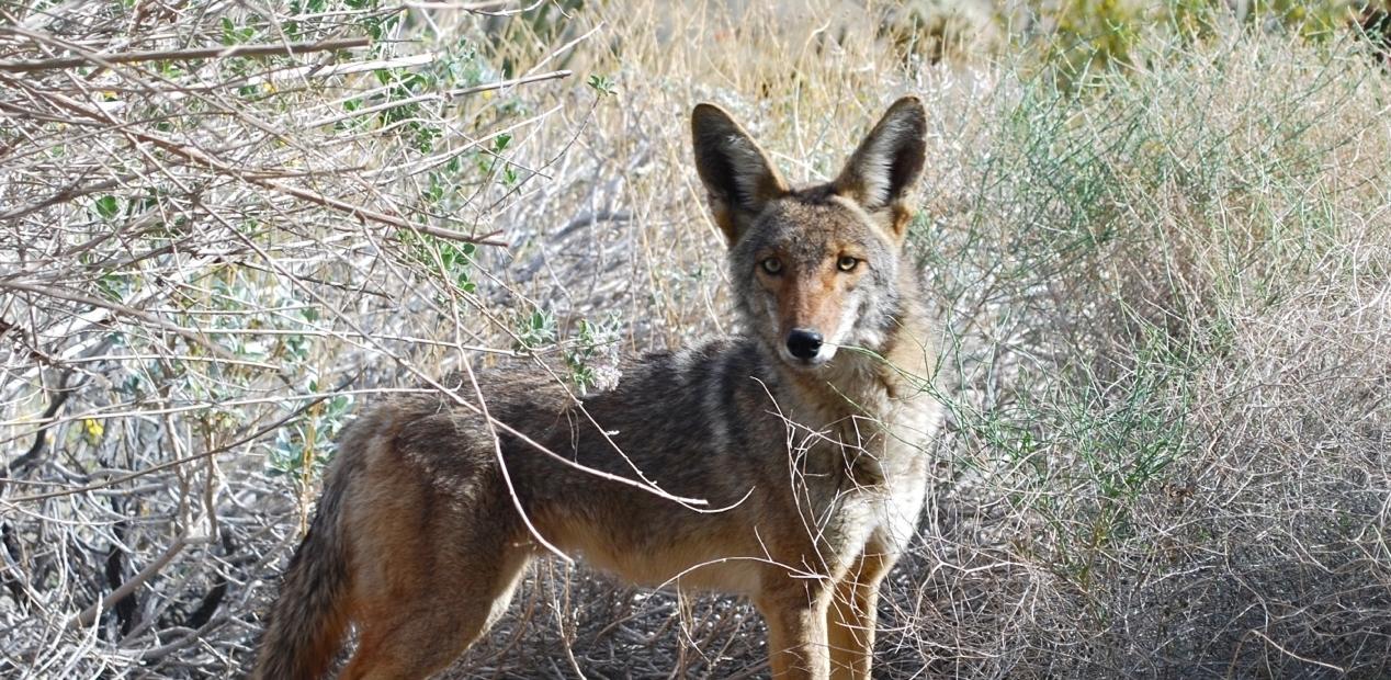 New Coyote