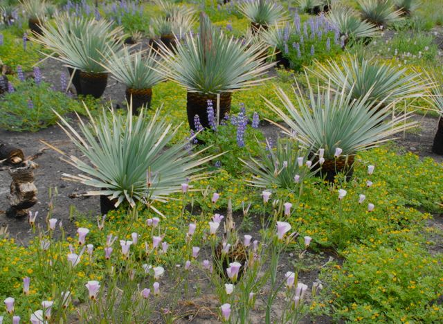 Agaves Lupines After Fire JEvarts