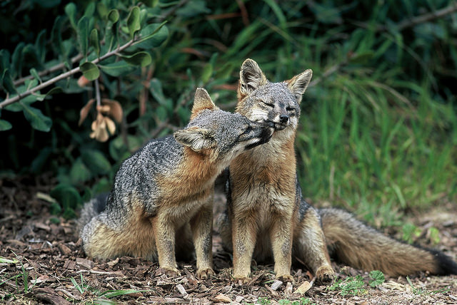 Island Foxes. Photo Courtesy Chuck Graham