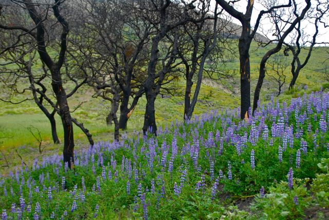 Lupines Oaks After Fire JEvarts